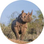 Ntombi The Rhino